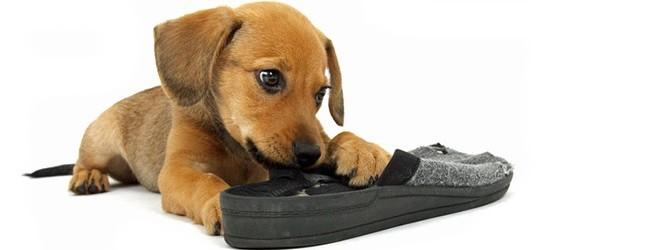 Hund zerkaut einen Schuh